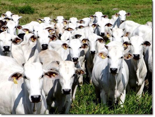 Isenção de ICMS sobre gado transportado entre Estados
