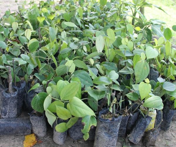 Plantio de pimenta-do-reino é iniciado em Lagarto